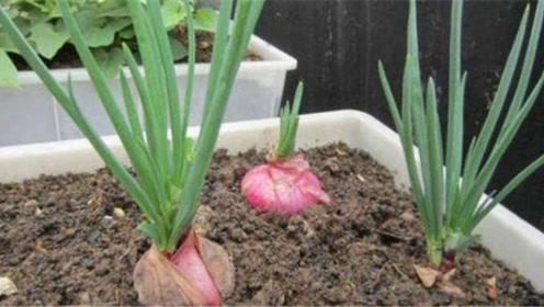 洋葱别再花钱买了,手把手教你在家种植,方法简单,比买的还好吃