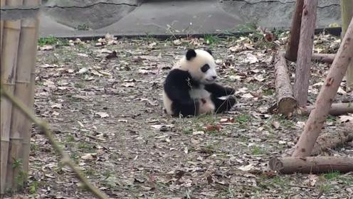 熊猫发现摇摇马被收走,竟一头撞向旁边的木桩