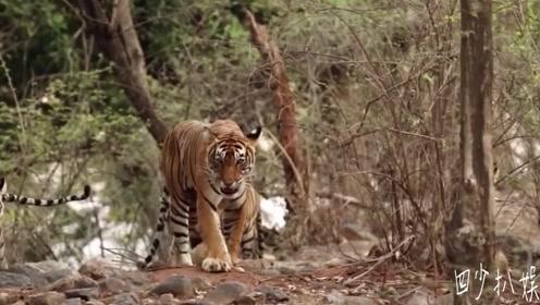 老外上厕所碰到老虎,本以为是恶搞,结果老虎