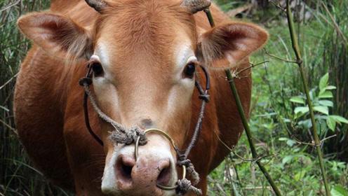 如果没有这视频,你不会相信牛才是动物世界的