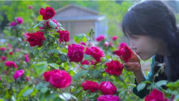 玫………瑰花…的一生?