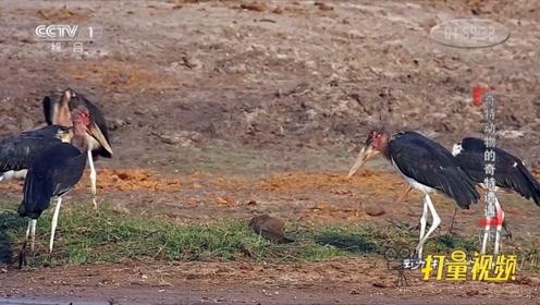 凶残的非洲秃鹳竟吃掉自己的兄弟 动物世界