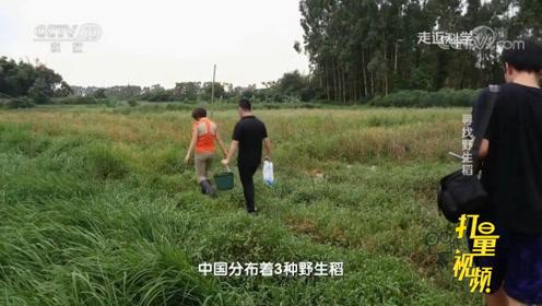 野生水稻长得跟杂草无异,该如何区分?来看专家的诀窍