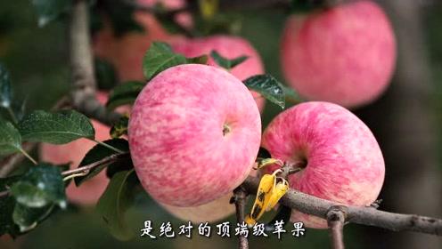 洛川香蜜蜂苹果成品#戏精上身的我# #今日必吃的瓜# #美食高光时刻#