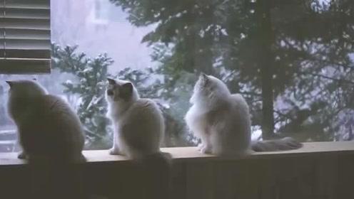 三只布偶猫坐看雪景,这生活,我羡慕了