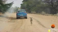 看着心都碎了!一只小角马迷路,把汽车当成妈妈,一路追逐着