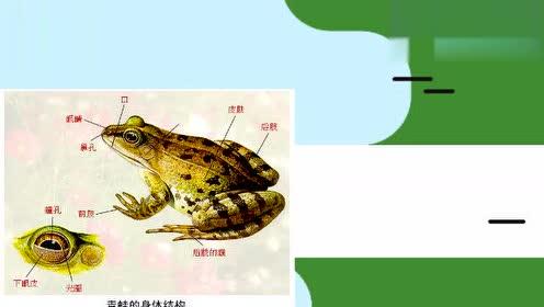新版八年级生物上册5.1.5 两栖动物和爬行动物