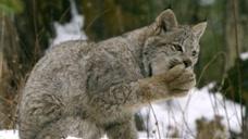 北美猞猁是雪地大脚怪,也是猫科挺进北美的成功范例!