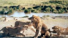 流浪的雄狮闯入狮群领地,母狮暴起反抗,意想不到的事情发生了