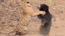 难以置信的战争!黑熊和老虎对决,谁才是真的大力士?