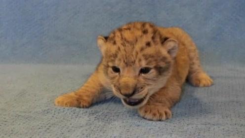 现实生活狮子幼崽!