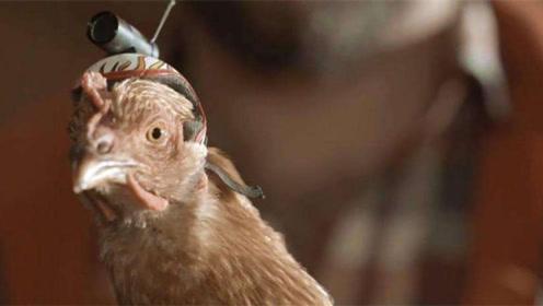 鸡头是世界上最稳的?在鸡头上安装摄像头,难得一见的现象发生了