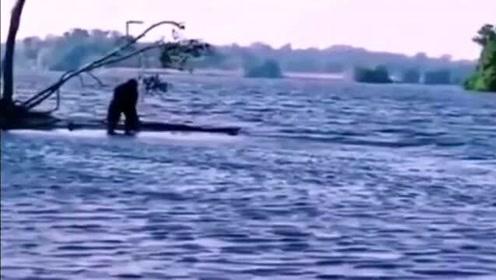 来看看动物的那些搞笑行为,大猩猩冲到水里又