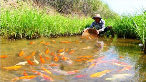 大叔稻田游玩,捕获漂亮鲤鱼,真让人羡慕