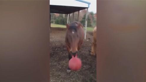 搞笑动物合集:马儿表现的是真优秀,都学会玩