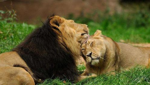 心里受不了图片_刚打开狮子笼,19头狮子就把饲养员围了起来,一般人心里可受不了!