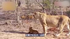 鬣狗趁母狮落单捕食小狮子,没想到下一秒就后悔了