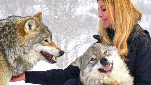 美女苦练5年学会狼语,进山遇见狼群的那一刻,才知道啥是狼王