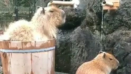 太搞笑了,两只动物在温泉下面冲澡,还不用花