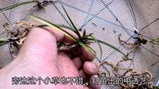 国庆长假给兰友打包兰花,各种品种的蕙兰艺草,价格便宜最受欢迎