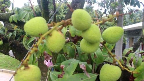 荔枝在广西是很有名气的,今年荔枝园里开发了旅游区,风景真美