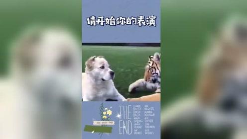 老虎与狗#搞笑 #狗狗 #沙雕 #动物成精