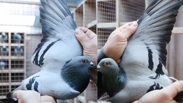 创纪录!中国神秘土豪花1250万元买下一只鸽子