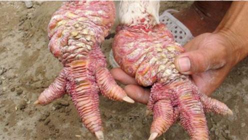 """这鸡是打了肉毒杆菌?曾是皇室贡品,一对""""龙爪""""就身价过万!"""
