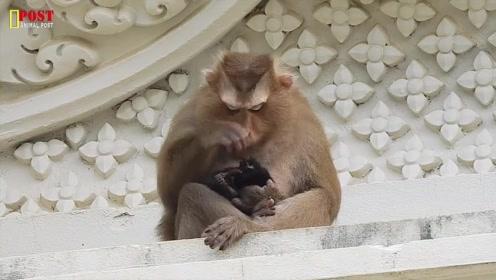 刚出生的小猫被母猴控制,小猫还没有开目,小猫的命运会如何呢?