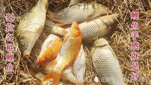 一个不被人看好的钓点,狂拉各种鲤鱼,冬季野钓这鱼情你见过吗
