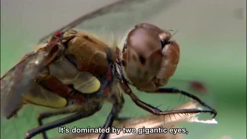 动物世界奇闻趣事探索,蜻蜓的眼睛是什么样子的,为什么会这样子