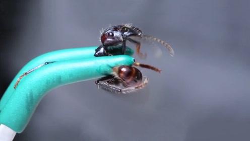 勇敢荒野:作死老外找10倍超级毒蚁蜇自己,结果毒刺卡在肉里!