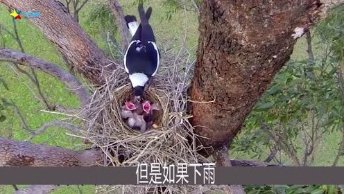 为什么鸟巢都是