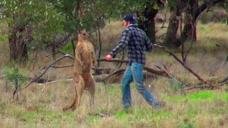 狗狗被袋鼠锁喉,不料狗狗主人一拳打袋鼠脸上,袋鼠当场就懵了