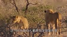 女子故意拍打栏杆想引起狮子注意,下一秒被一把抱住了头!太惊险