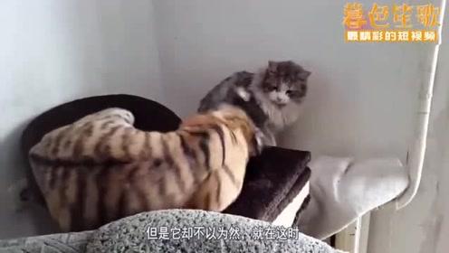老虎对猫咪亲个不停,结果挨了猫咪一耳光,下