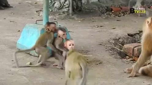 阿尔伯特太漂亮,小猴子都来抢着抱,搞笑