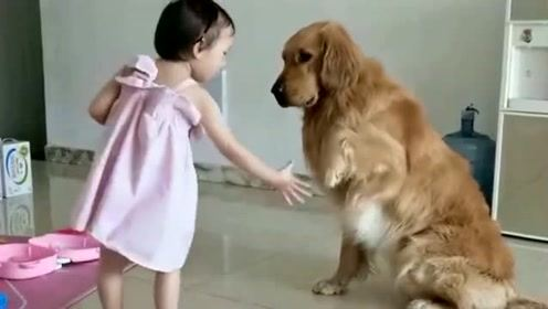 这金毛太聪明了,能听懂小主人说的话,让它干什么狗子就干什么!