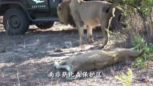 野生狮子靠近游览车,向导近距离面对雄狮临危不惧