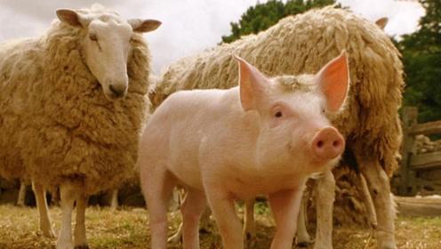 一部搞笑动物电影,宠物猪为了不被烤乳猪,每