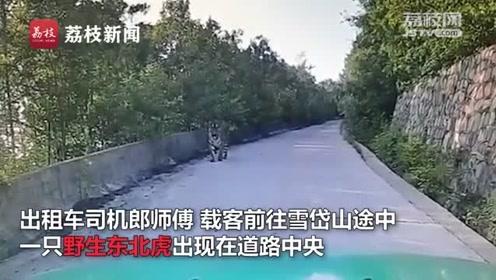 真攔路虎!的哥開車途中偶遇野生東北虎 的哥:我們和它對視二十分鐘