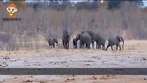 狮子捕食落单小象,大象妈妈闻讯后,急忙赶来