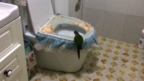 这个小鹦鹉上辈子绝对是人变的,居然自己上厕