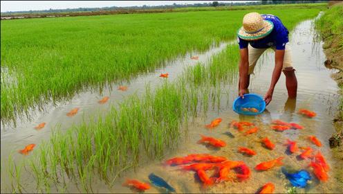 小伙稻田游玩,捕获大量金鱼,这下发财了