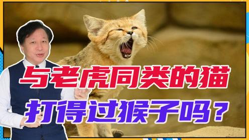 与老虎同类的猫,打得过猴子吗?有人恶搞了一