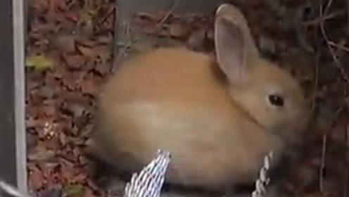 【希望之爪】汪星人救援队捕获一只可爱的兔兔