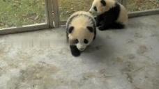 小熊猫一直追着奶爸跑,非常可爱又充满活力