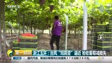 """浙江瑞安:台风""""玛莉亚""""来袭 农户抢收早稻"""