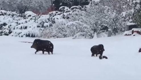 美国野猪家族雪地搬迁,最后的两只小野猪长的太可爱!