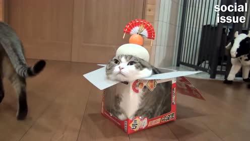 搞笑动物小片段:主人这盒子不适合我,哈哈